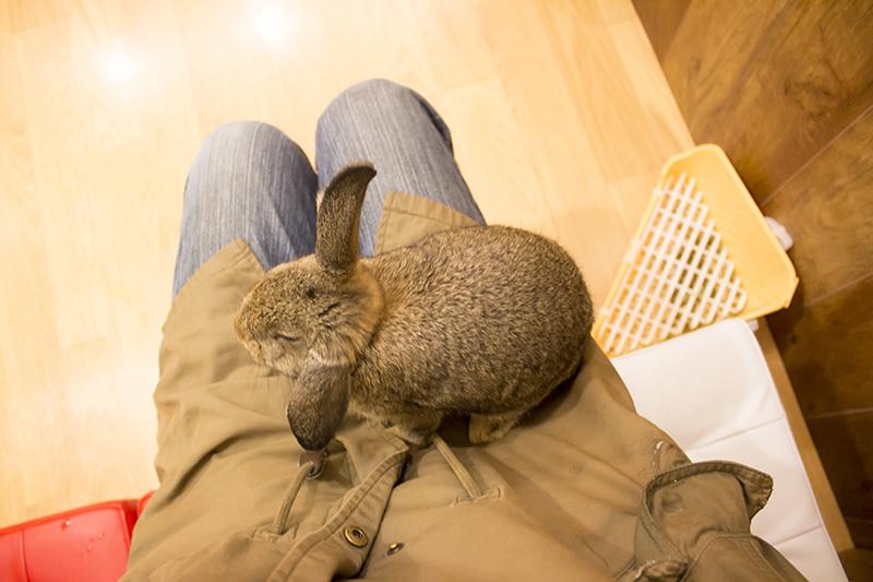 ▲椅子に座ってると高確率で膝に乗ってくる。ウサギはトイレのしつけが難しいため、服を汚したくない方は防水エプロンを借りよう。